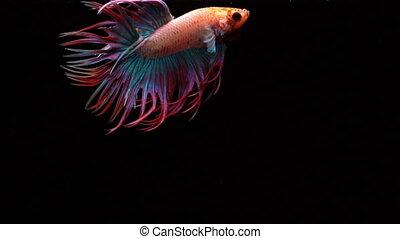 Siamese fighting fish - Super slow motion of vibrant Siamese...