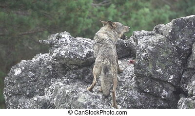 Super slow motion of wolf eating over rocks - Rear view of...