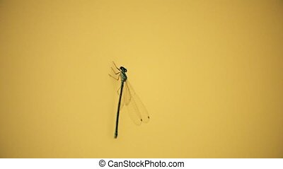 Super slow motion shot of a dragonfly flying off the yellow wall