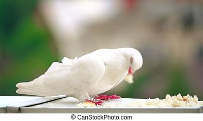 Super slow motion shot of a white pigeon pecking bread crumbs