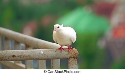 Super slow motion shot of a white pigeon flying off a...