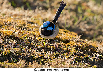 Cute little Superb Fairy Wren, Blue wren male bird with distinctive blue crown, ear coverts, upper back foraging for food in evening, Tasmania, Australia (Malurus cyaneus)