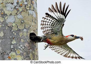 superciliaris, melanerpes, pájaro carpintero, (, al oeste ...