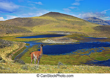 superficial, guanaco, lago