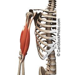 superior, músculo, brazo