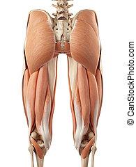 superior, músculos, pierna