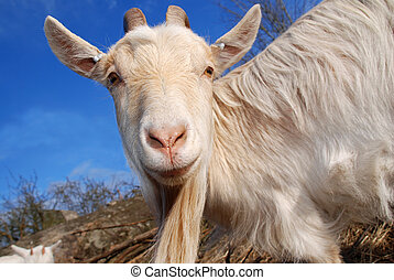 what is that, goat looking into the camera