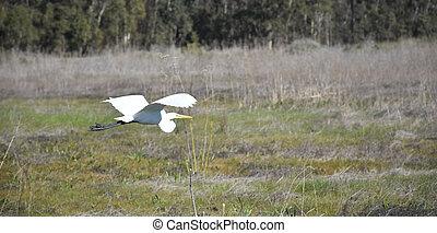 sur, blanc, champ, vol, prolongé, héron, ailes