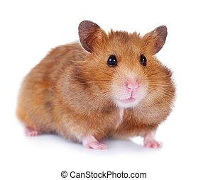 sur, blanc, hamster