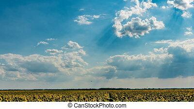 sur, ciel, défaillance, beau, été, champ, nuageux, tournesol, paysage, temps