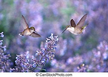 sur, colibris, fleurs, fond, pourpre