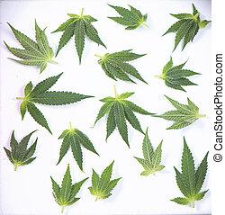 sur, concept, monde médical, -, marijuana, isolé, cannabis, petit, blanc, feuilles