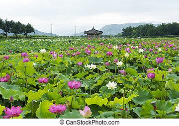 sur, gyeongju, corea, ciudades, loto, hermoso