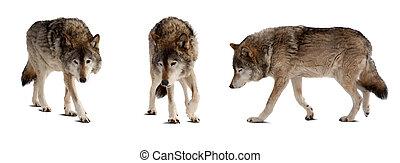 sur, loups, peu, ensemble, blanc