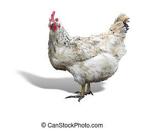 sur, poule, blanc, poulet, isolé