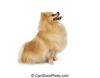 sur, séance, blanc, pomeranian, chien