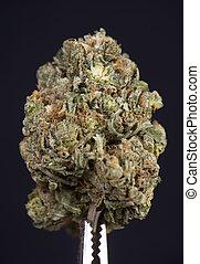 sur, strain), isolé, cannabis, maître, séché, (scout, noir, bourgeon