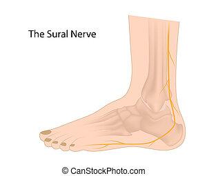 Sural nerve, eps10 - Sural nerve used for biopsy and graft