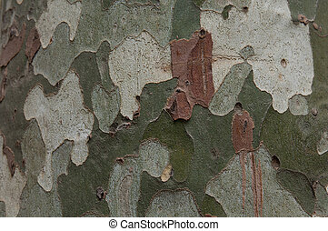 Surface of sycamore (platanus) tree as backdrop or texture ...