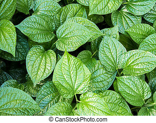 Leaves of Piper sarmentosum, Herb plant background - Surface...
