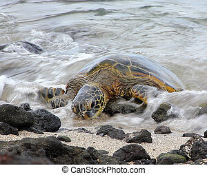 surfar, tartaruga