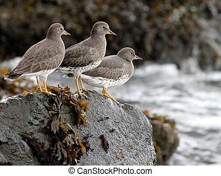 surfbirds, на, камень