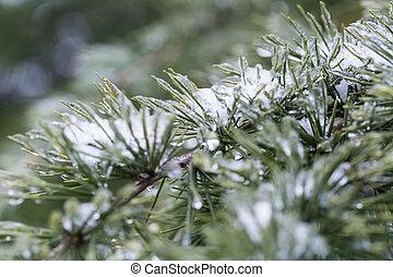 surgelé, aiguilles pin, dans, hiver