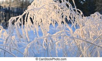 surgelé, brindilles, herbe, hiver