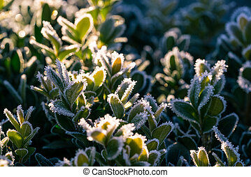 surgelé, lumière, feuilles,  od,  détail, matin, buis, vert