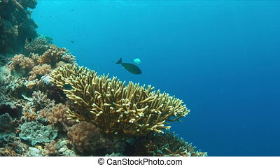 Surgeonfish with cleaner wrasses on the edge of a coral reef.