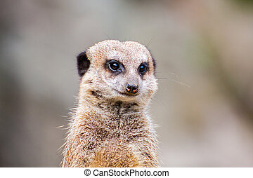 suricata, eller, meerkat