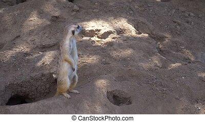 Suricata standing on a guard. Curious meerkat. Meerkat...