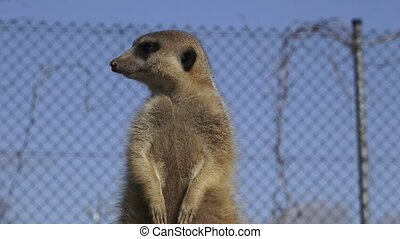 Suricata standing on a guard. Curious meerkat (Suricata...