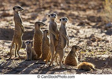 suricate, famiglia, standing, in, il, inizio mattina, sole, lit posteriore, guardando, possibile, pericolo
