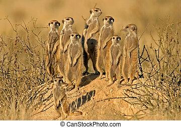 suricate, familj