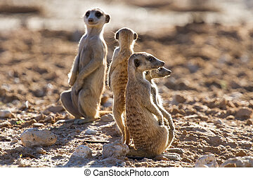 Suricate family standing in the early morning sun back lit looking for possible danger
