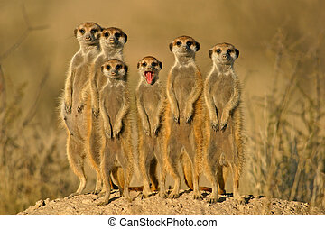Suricate (meerkat) family, Kalahari, South Africa
