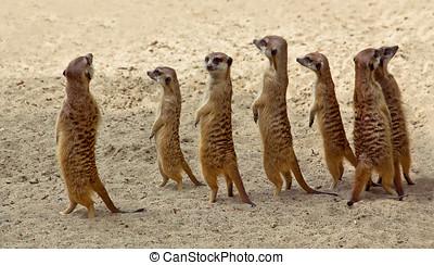 suricate, gezin, staand, dichtbij, nest, in, zon