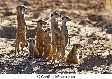 suricate, gezin, staand, dichtbij, nest