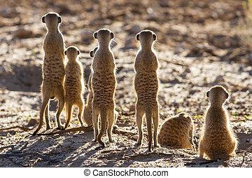 suricate, gezin, staand, in, de, vroege morgen, zon, achterlit, het zoeken, mogelijk, gevaar