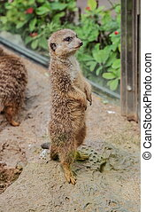 Suricate in Loro Parque, Tenerife, Canary Islands
