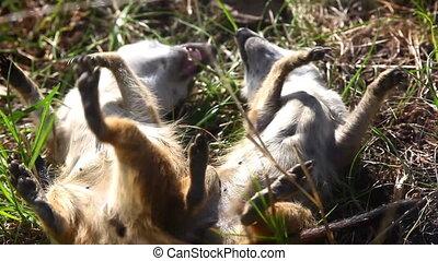 suricate, meerkat, -, baston