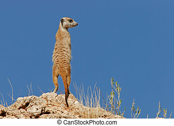 Suricate (meerkat) family - Alert suricate or meerkat...