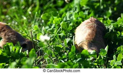 Suricate - meerkat on grass