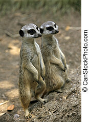 Meerkat or suricate (Suricata, suricatta) is a small mammal and a member of the mongoose family. Zoo in New Zealand