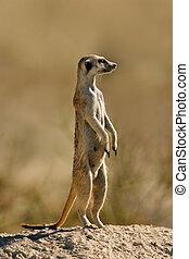 Suricate or meerkat (Suricata suricatta) standing on guard, Kalahari, South Africa