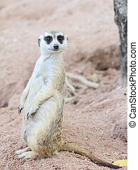 Suricate or meerkat in the zoo.