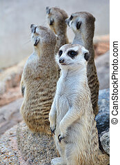 Suricate or meerkat standing in alert position
