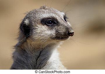 Suricate or meerkat (Suricata suricatta)