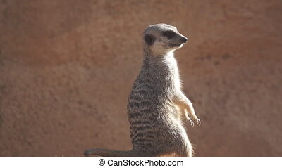 Suricate raising upright in slow-motion - Super slow motion...